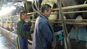 milking routine